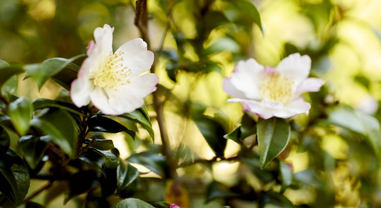 Two white and pink camellia flowers